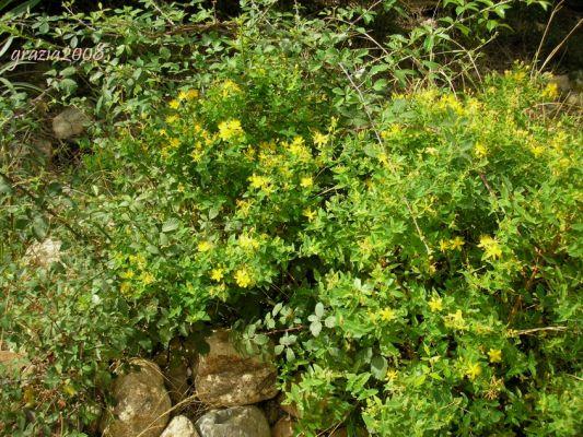 Piante Di Erba : Piante endemiche della sardegna hypericaceae hypericum