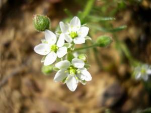 Spergula arvensis (2)