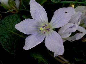 Mandragora autumnalis T. (8)